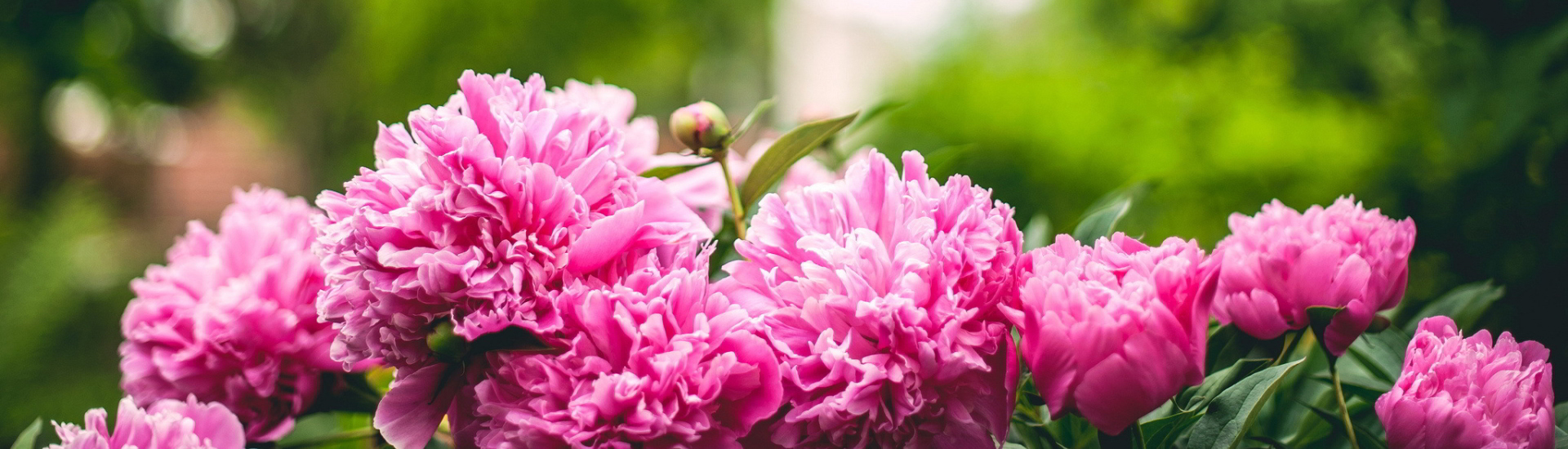 Pickering Horticultural Society Header Image 1 Peonies